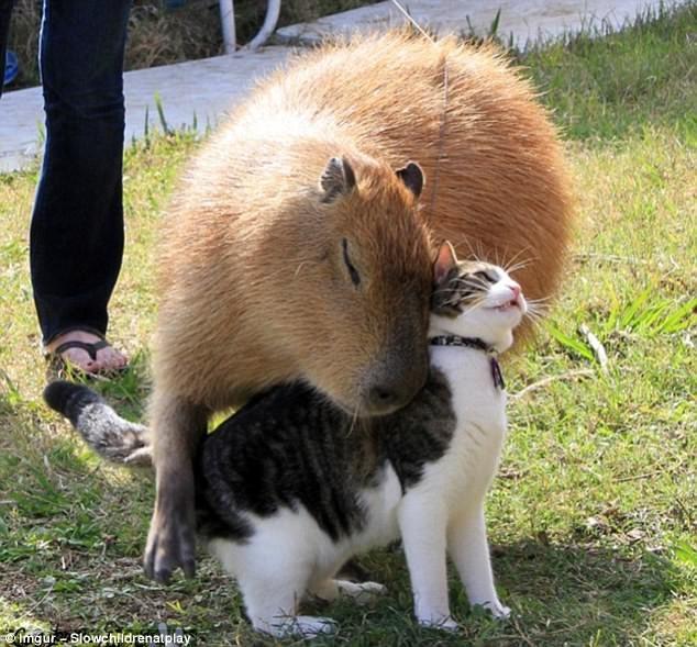 Самое дружелюбное животное на земле – капибара! дружба, живность, животные, капибара, милота, природа