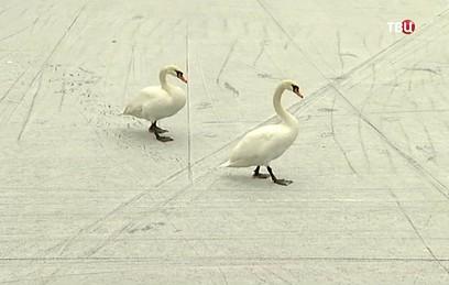 Лебедей с Патриарших прудов отправили на зимовку в питомник