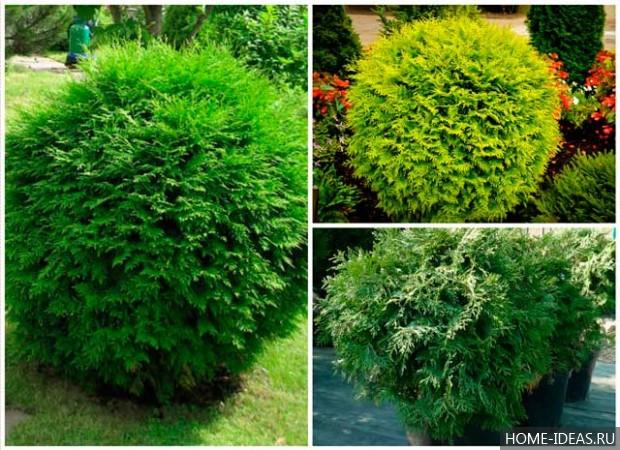 Хвойные растения фото
