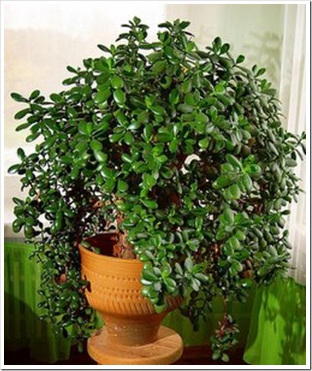 У вас дома тоже растет такое дерево? Так вот, знайте, что вы поливаете и выращиваете