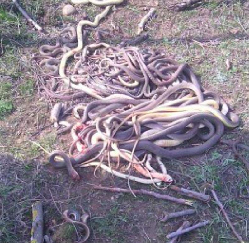Гора изрубленных змей... кто же расправился так с ними