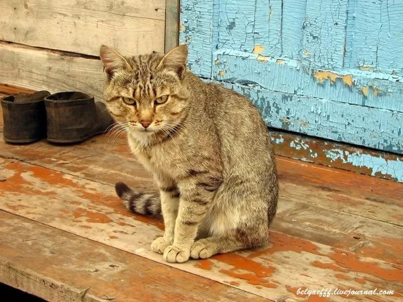 Суета вокруг кота деревня, животные, жизнь, коты, соседи