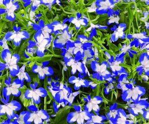 Цветок лобелия: описание сортов и правила выращивания