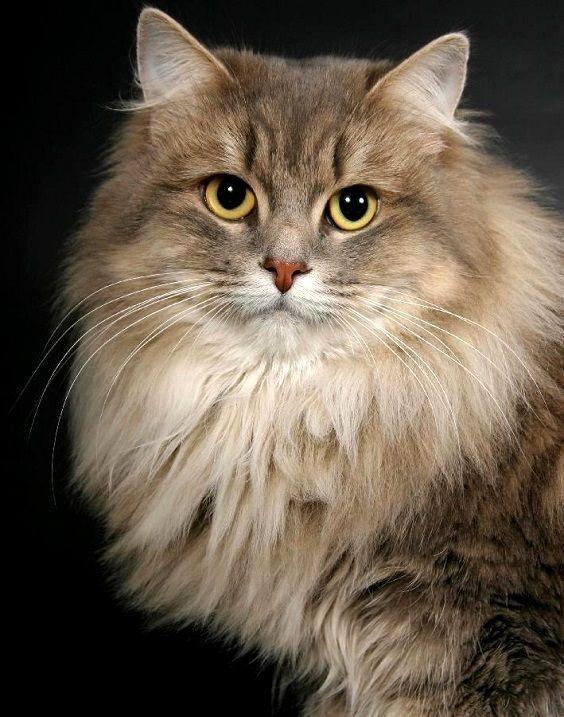 Сибирская кошка: фото, описание породы, где купить