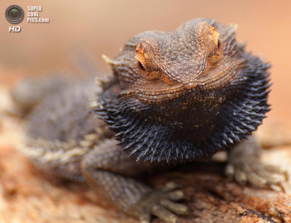 Австралия. Северная территория. Житель скалы Улуру в Национальном парке Улуру-Ката Тьюта. (Michael Kunze)