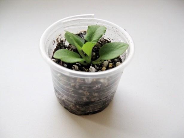 Размножение фиалки листом и не только (практические советы)