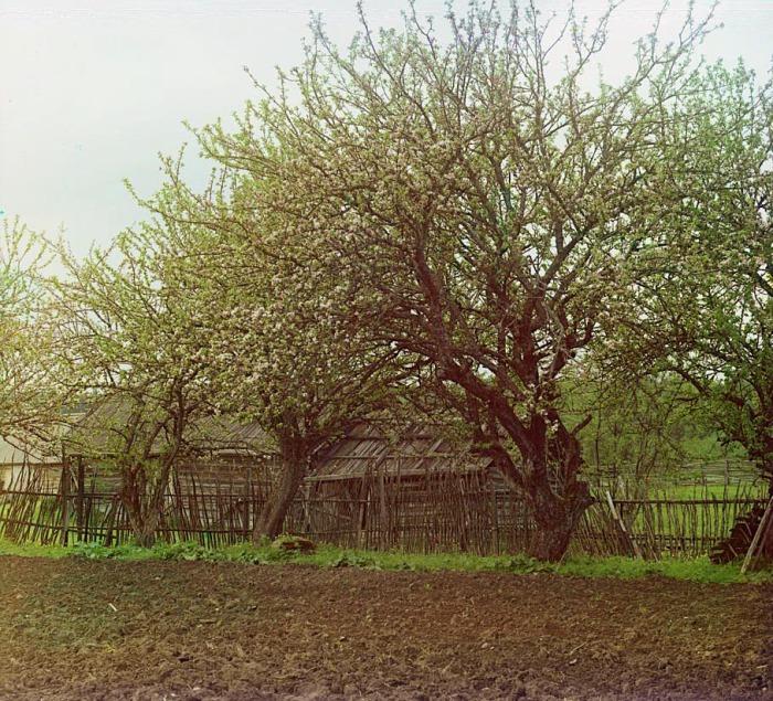 Яблони в цвету посаженные на одном из местных участков.