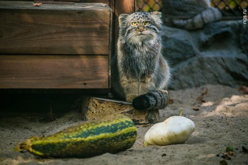 Суровые сибирские коты животные, коты