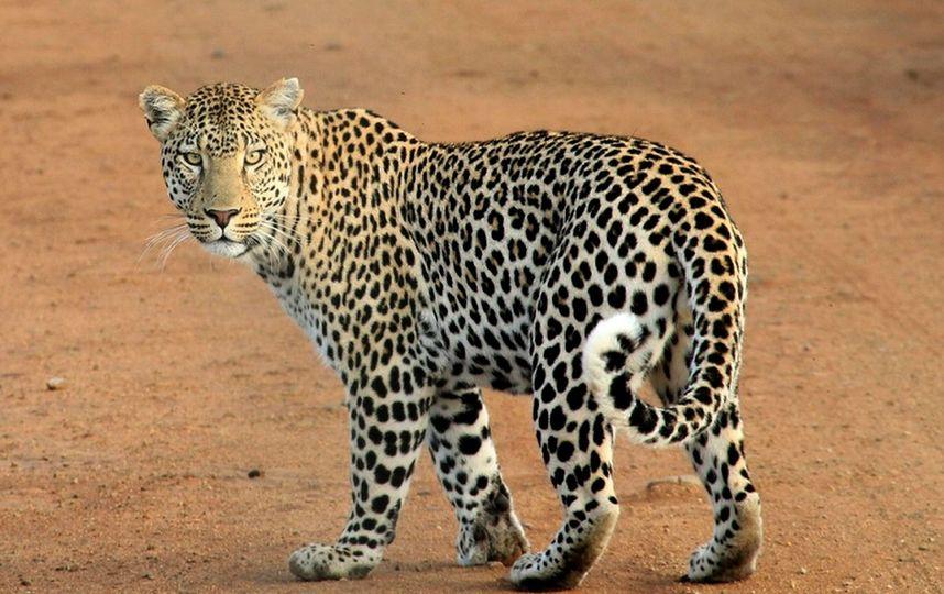Леопард прокатился в Екатеринбургском такси. Видео