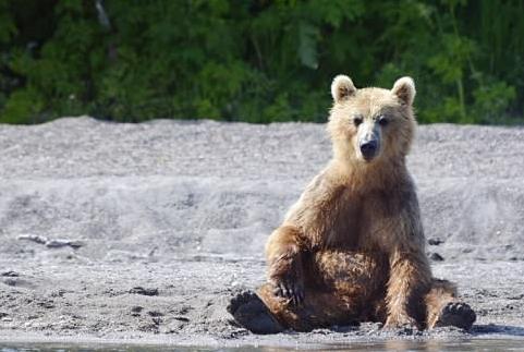 Английских фанатов предупредили об атаках голодных медведей