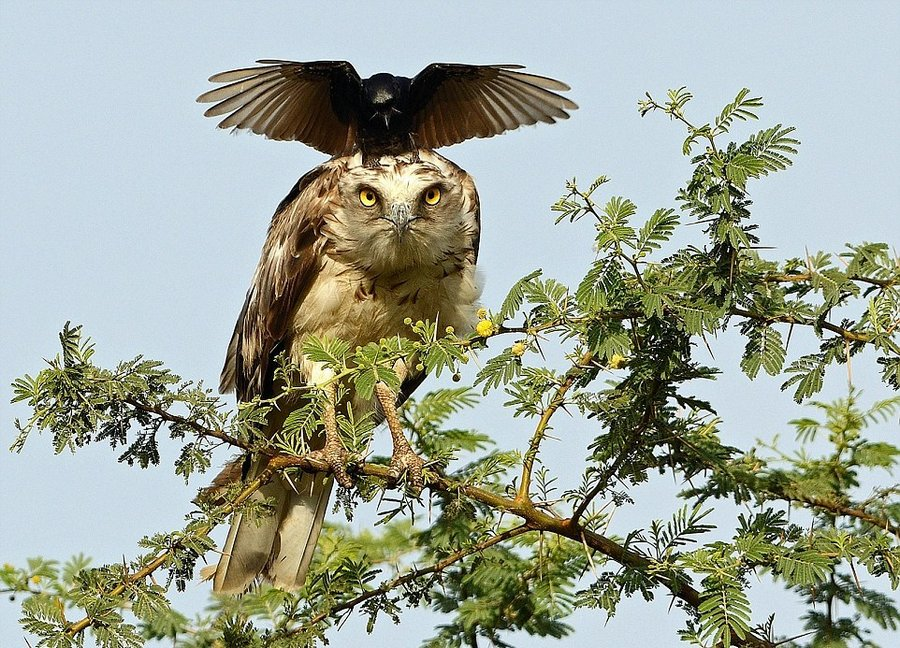 Уникальные снимки : боевая ворона отгоняет орла