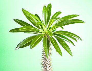 Как ухаживать за пахиподиумом: создаем условия для «мадагаскарской пальмы»