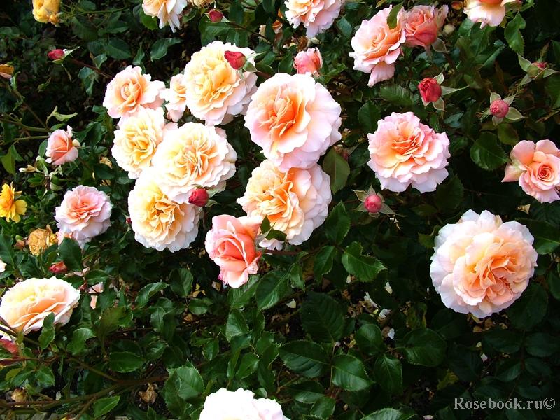 Розарий Королевского розоводческого общества в Сент-Олбанс, Великобритания