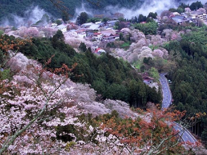 Вид на цветущие деревья сакуры сверху. Япония. Фото
