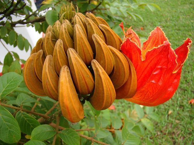 Экзотическая красота: Африканское тюльпанное дерево