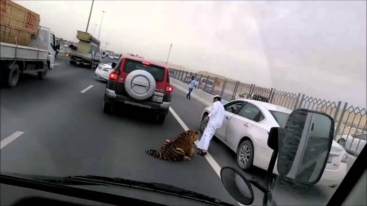 Выпрыгнувший из машины тигр парализовал движение