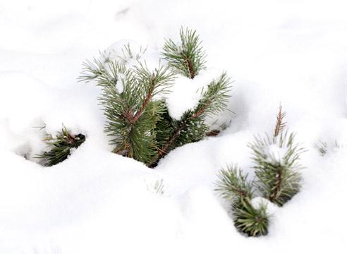 Зимние заботы в саду: снегозадержание