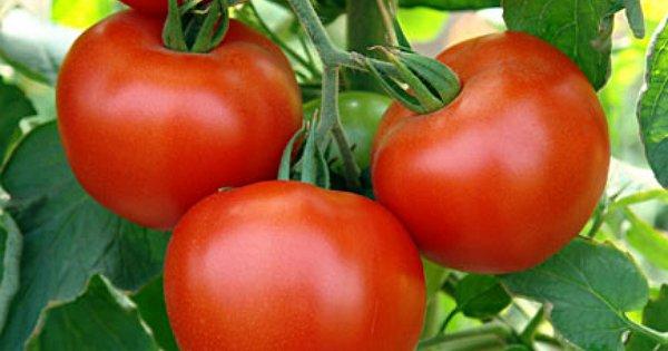 11 ошибок при выращивании томатов