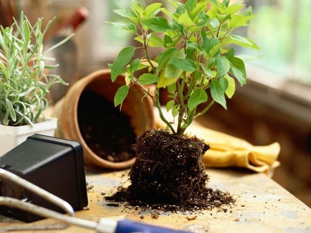 Как правильно пересаживать комнатные растения