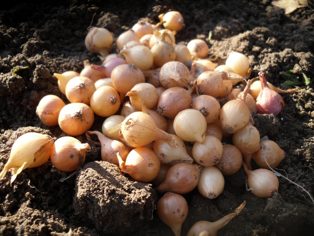 как сохранить лук для высадки весной