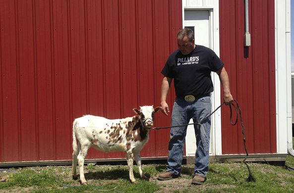 Фермер вывел новый вид домашних коров величиной с собаку