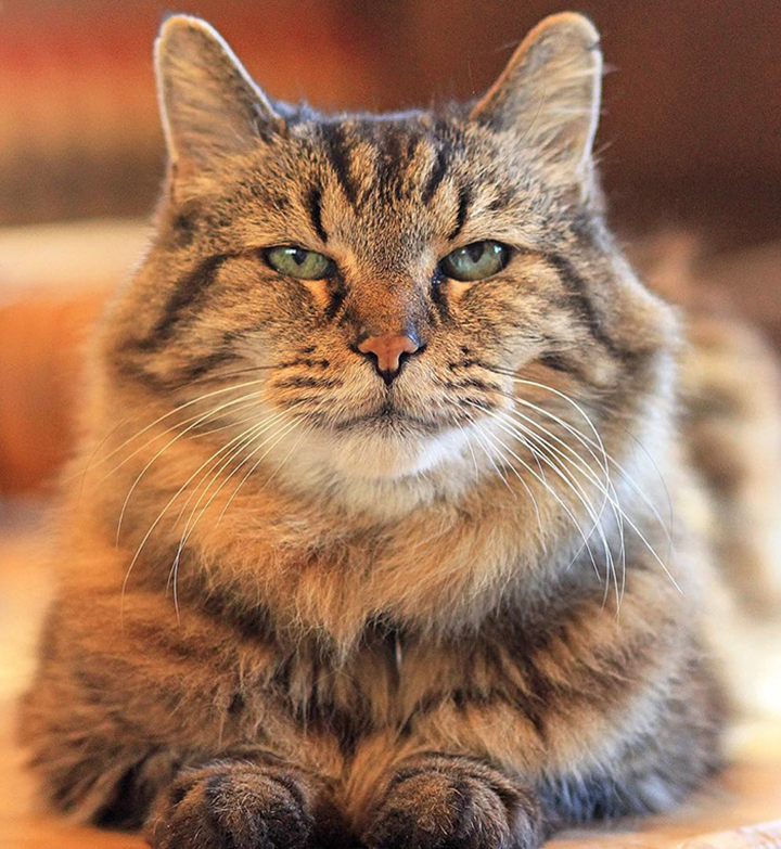 oldest-cat-living-guinness-world-records-corduroy-26