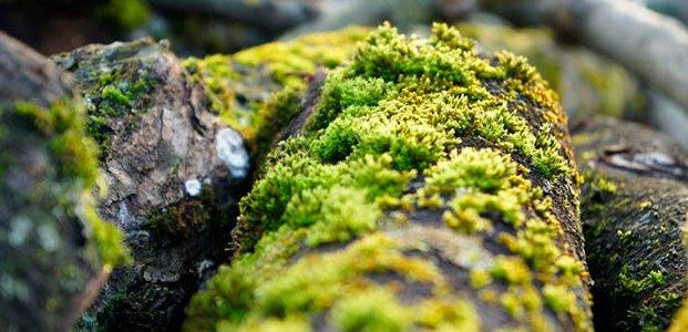 Мох на яблоне – причины и способы избавления