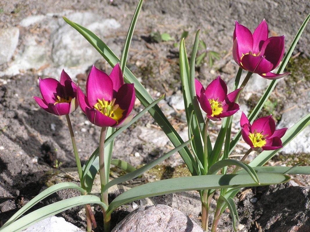 Очаровательный тюльпан карликовый