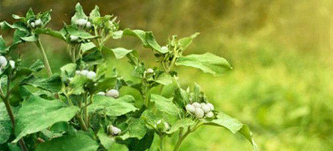 Листья лопуха для рассасывания кисты.