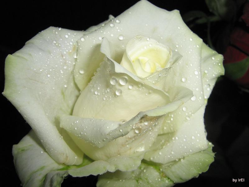 Белая роза))