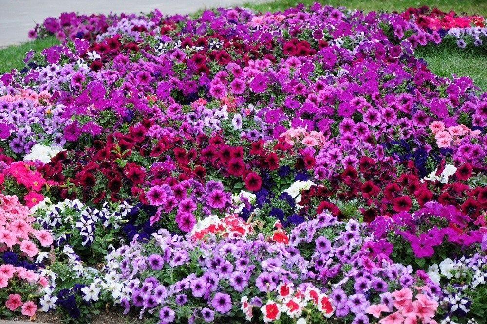 15 однолетников, цветущих все лето