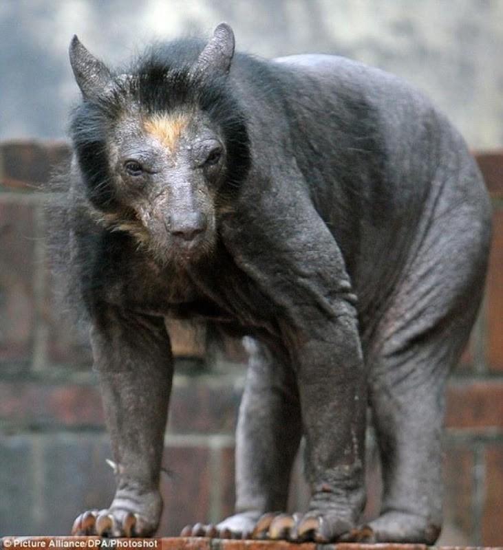 baldanimals09 Забавное и странное зрелище: облысевшие животные