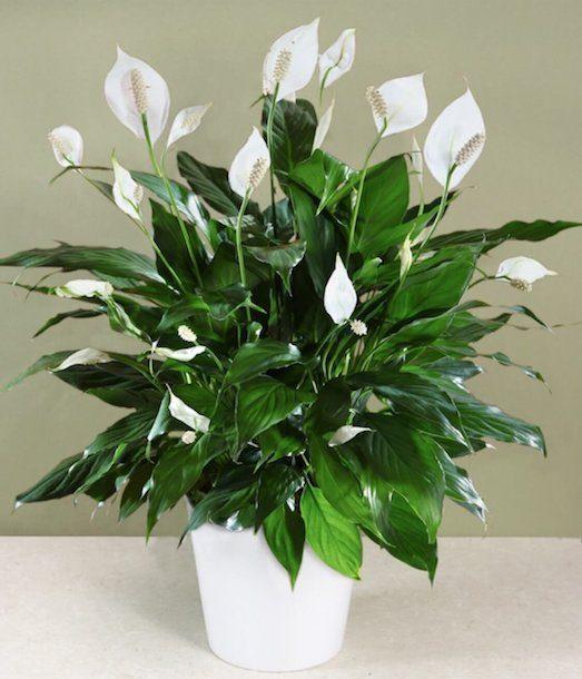 Уход за цветком спатифиллум в домашних условиях