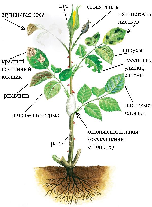 Вредители и болезни роз