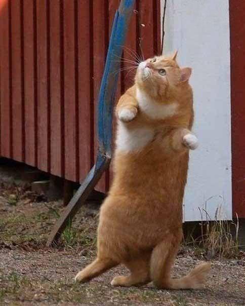 Кошки танцуют)) кошки, приколы с кошками