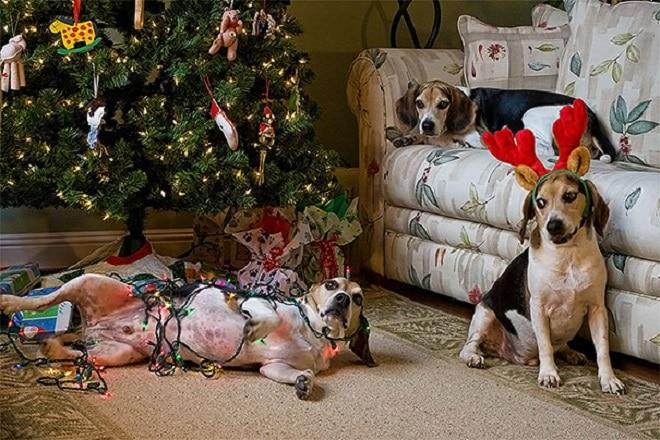 С праздником: 10 забавных фотографий питомцев, которые разнообразили жизнь хозяев в Рождество и Новый год!