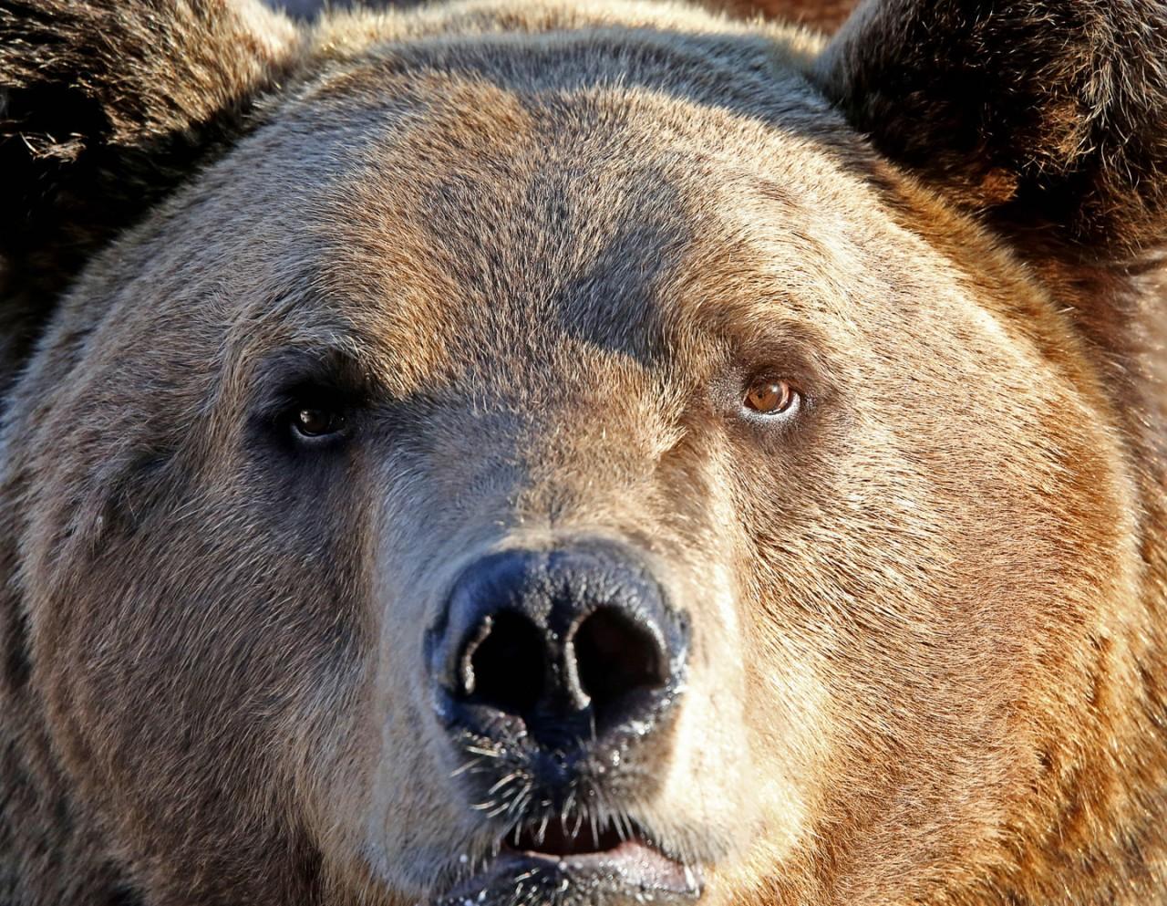 В Латвии медведь-нелегал сломал пограничный забор, чтобы сбежать в Россию