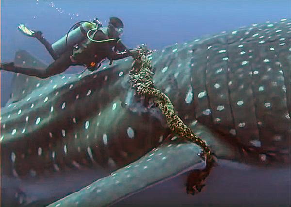 Аквалангист рисковал жизнью, чтобы освободить огромнейшую китовую акулу