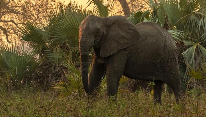 Африканские слоны перестали …
