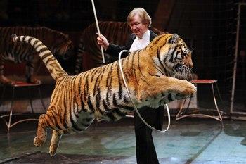 В челябинском цирке новая программа с тиграми Суматры