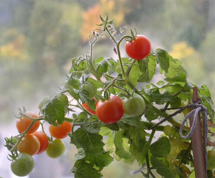 Выращиваем помидоры Черри на подоконнике