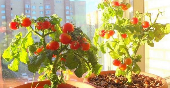 Как вырастить помидоры на по…