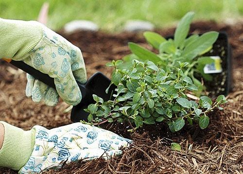 Сознательное потребление: Как пересадить растение с грядки в цветочный горшок?