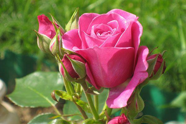 Магическая защита при помощи розы