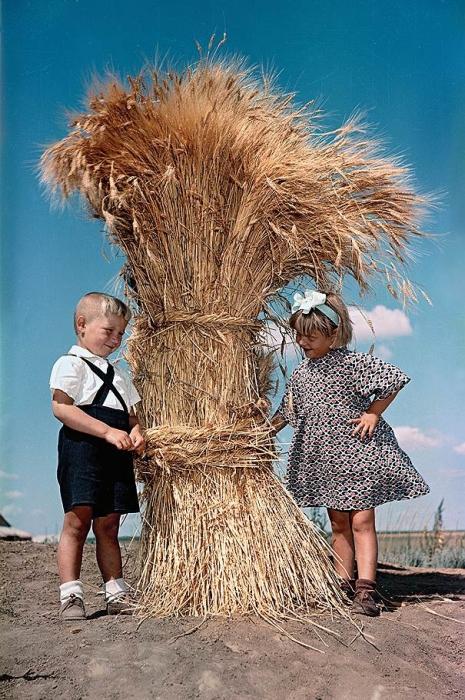 Колосья пшеницы, которые перевязанные перевяслом.
