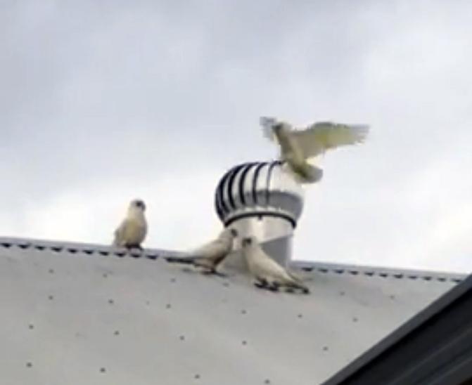 Попугаи в Австралии умеют развлекаться не хуже наших ворон