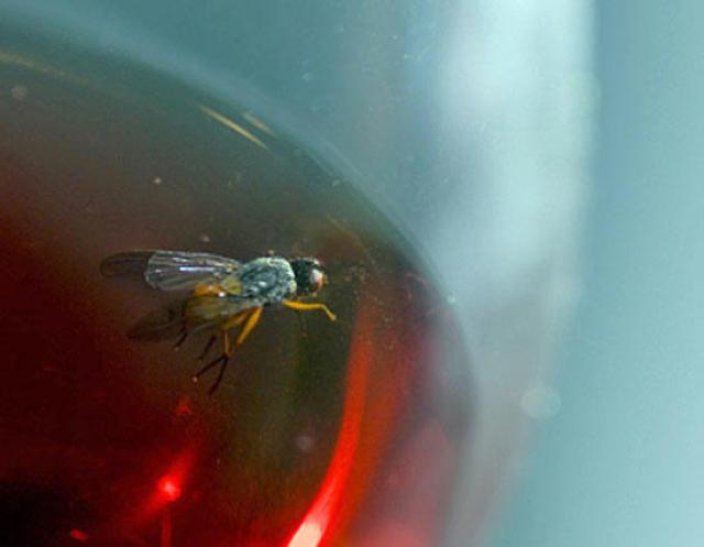 Обнаружены насекомые, которые любят алкоголь и секс