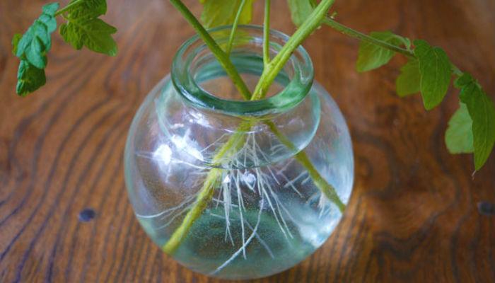 Как увеличить количество рассады помидоров без посадки семян