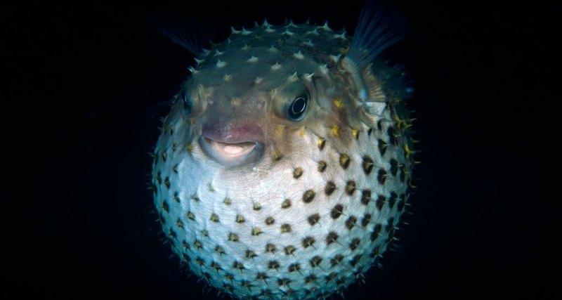 Глобальное потепление заставляет рыбу фугу мутировать