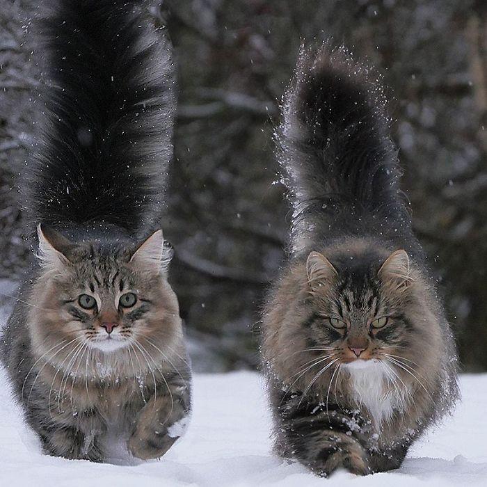 Снимки невероятно крутых северных котов от финской блогерши